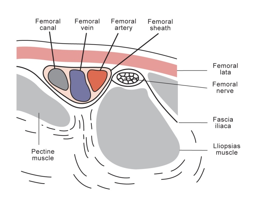 Femoral canal and surroundings
